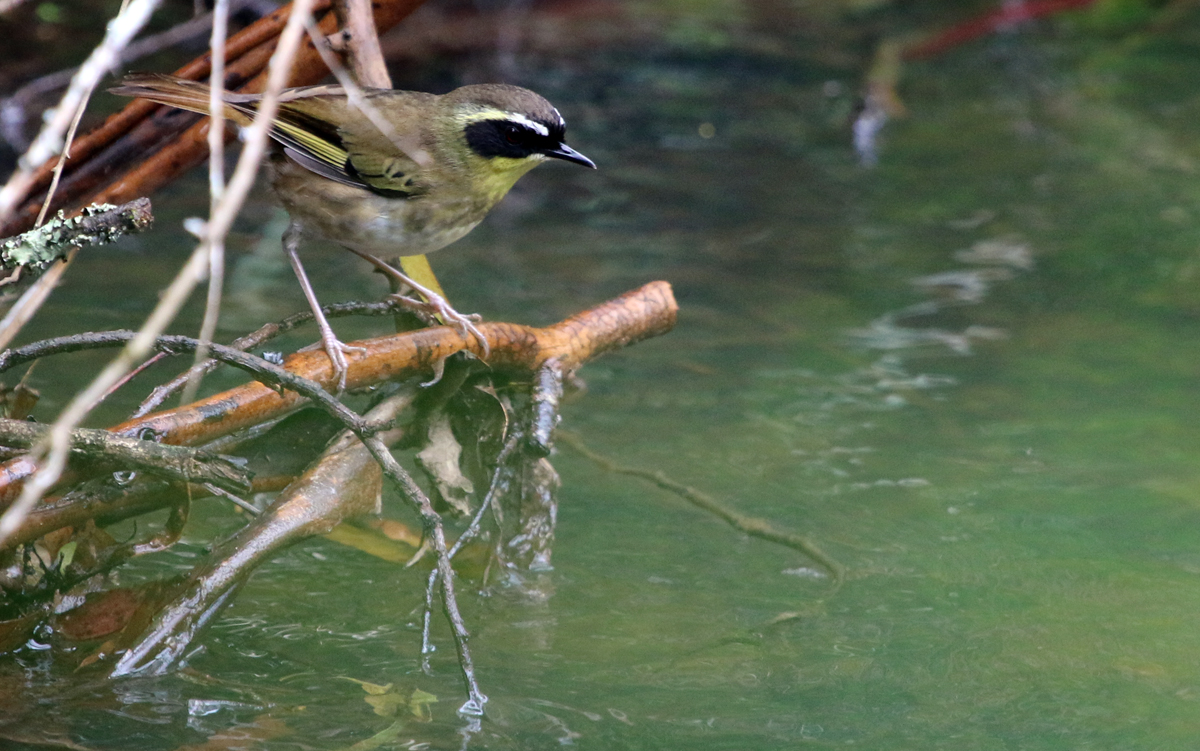 Yellow-throated scrubwren drinking