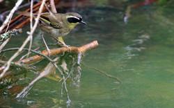 Yellow-throated scrubwren drinking