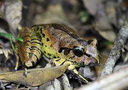 Endangered Fleay's barred frog