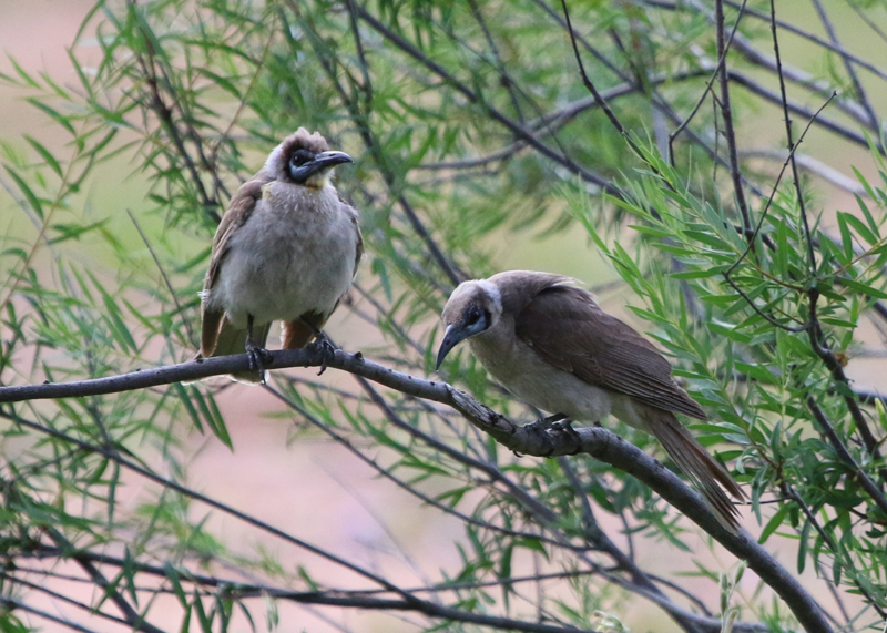 Little friarbirds (juv on left)