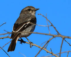 Male eclipse/juvenile hooded robin