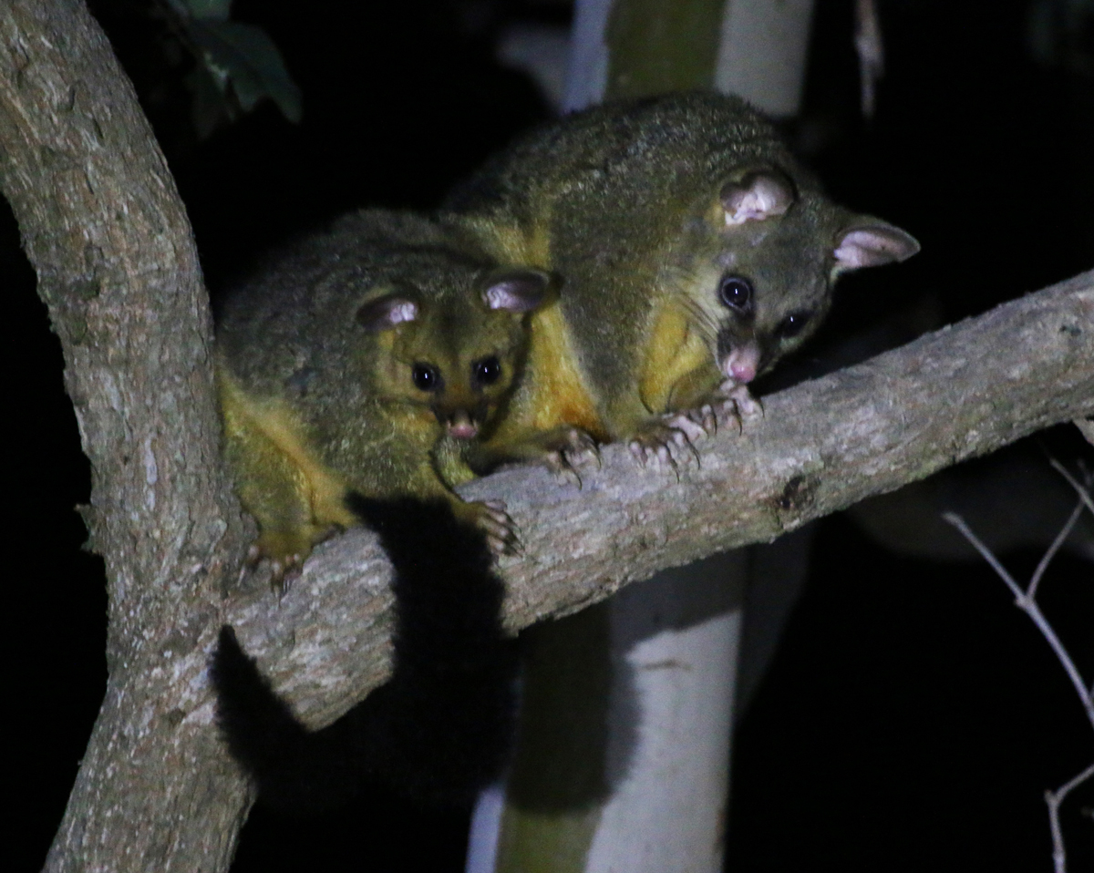 Mum and juvenile brushtail possum
