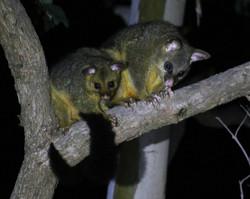 Mum and juvenile brushtail possum