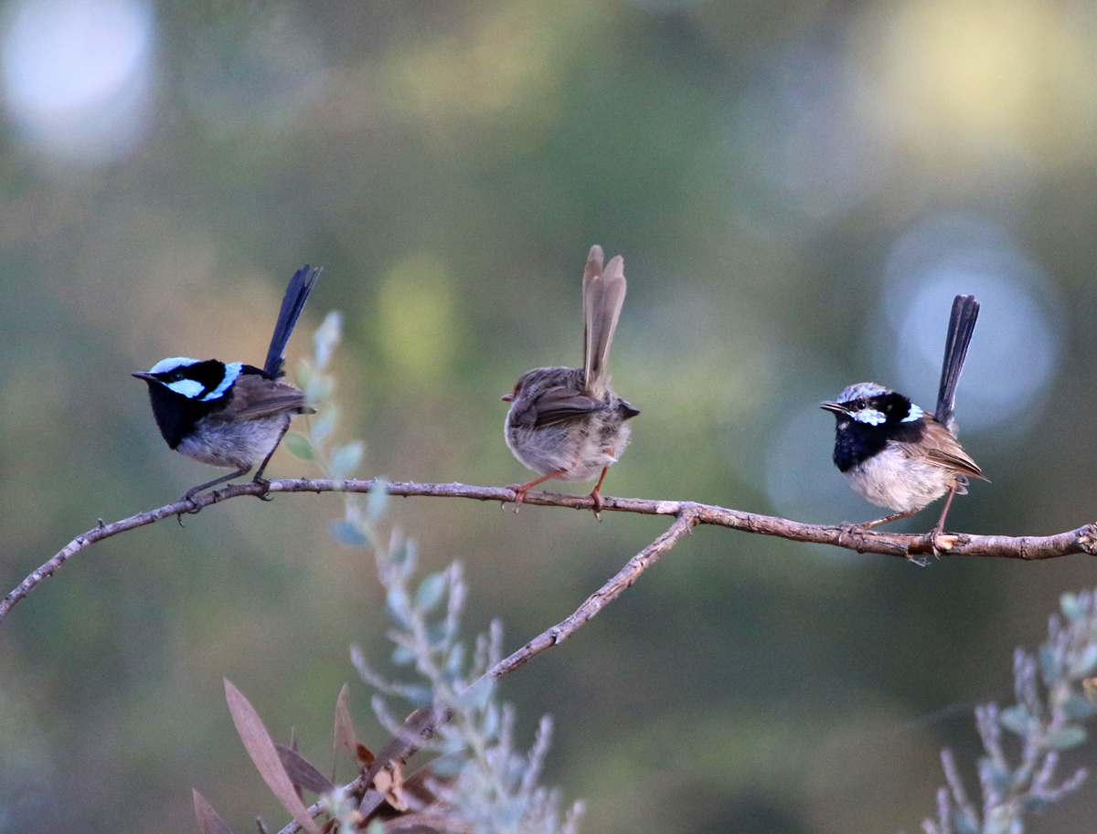 Superb fairy-wrens