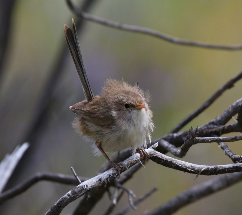 Female white-winged fairy-wren