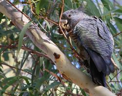Female gang gang cockatoo