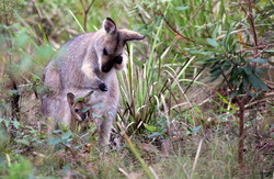 Wild red-necked wallaby with joey