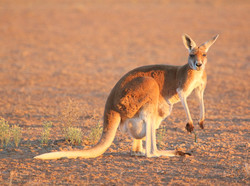 Red kangaroo with large pouch joey