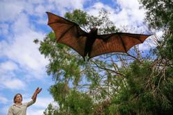 Alison Peel releasing flying fox