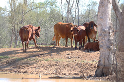 Neighbour's cattle