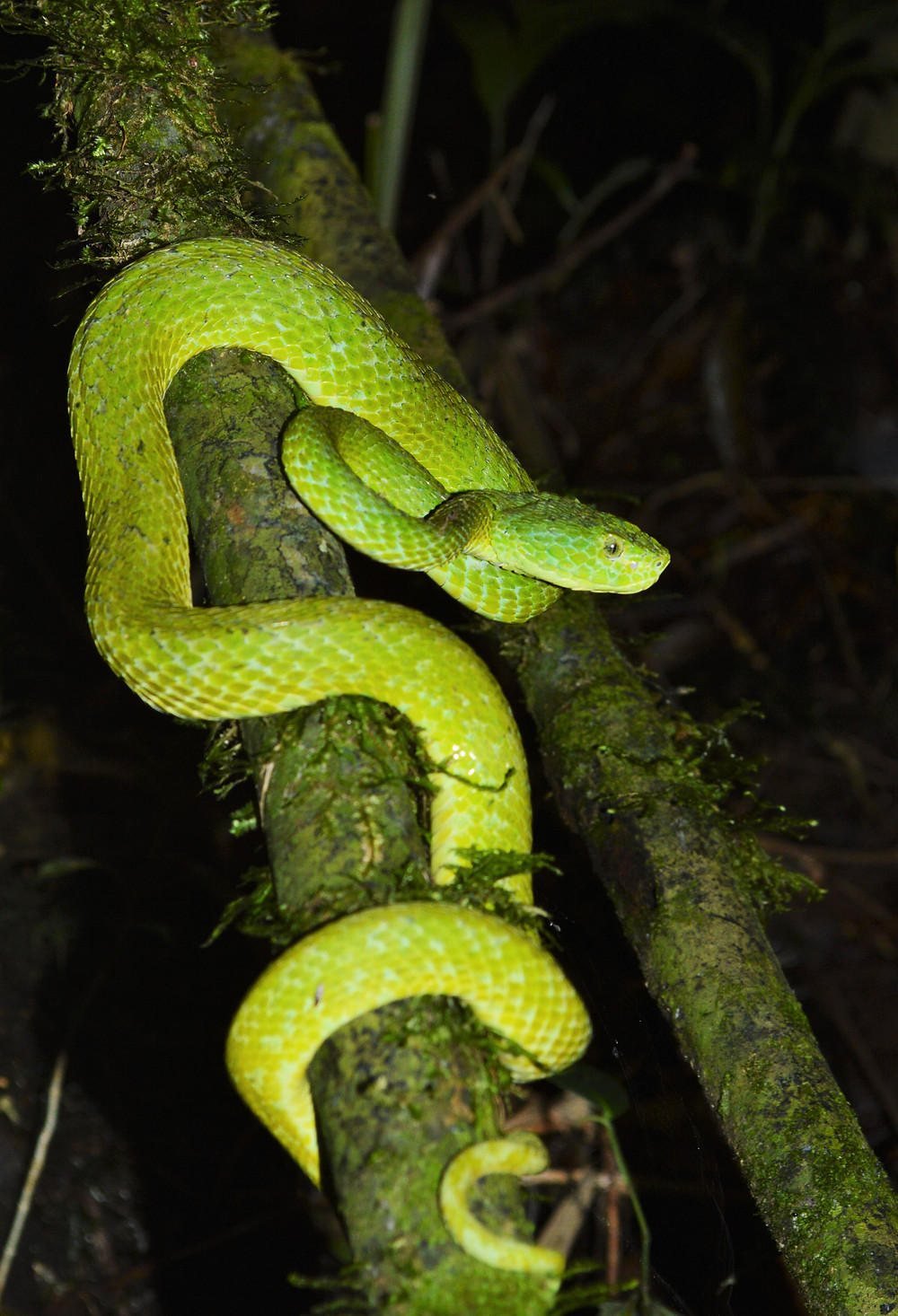 Emerald Palm Pit Viper, Bothriechis marchi. Cusuco National Park, Honduras