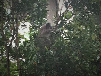 There's a koala outside my office! Visiting researcher Heather Bryan joins the group to study predat