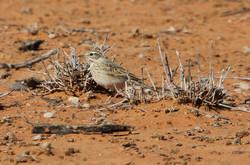 Australasian pipit