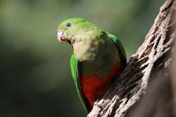Female king parrot