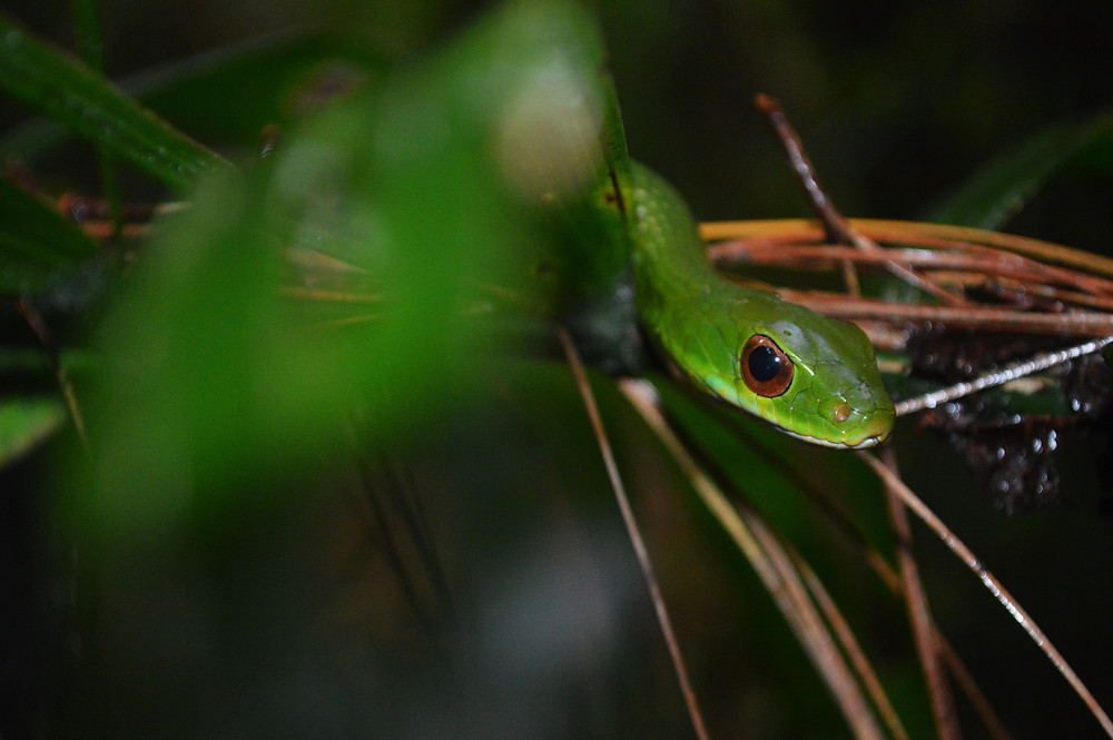 Drymobius chloroticus. Cusuco National Park, Honduras.