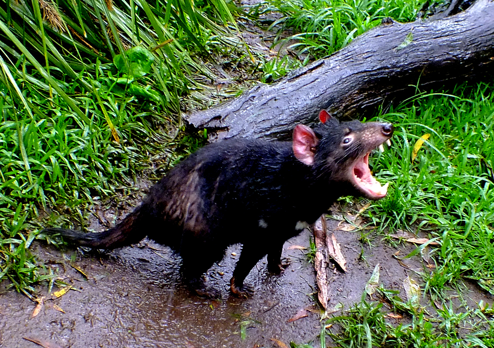 Tasmanian devil (no sign of disease)