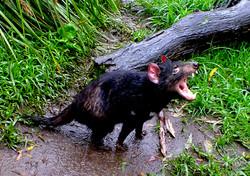 Tasmanian devil (no sign of disease)