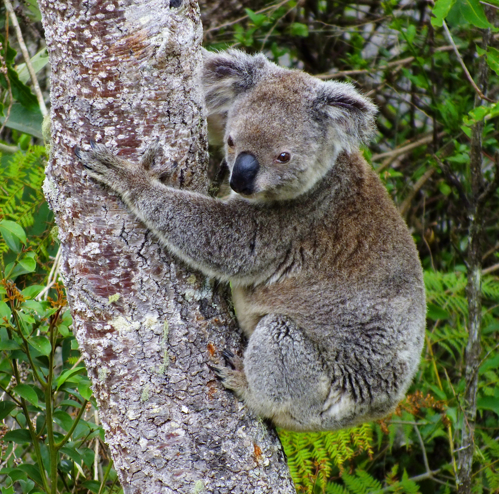 Wild koala (no signs of disease)