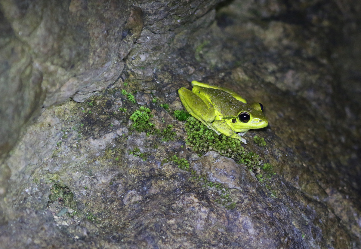 Male stony creek frog