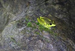Male stony creek frog