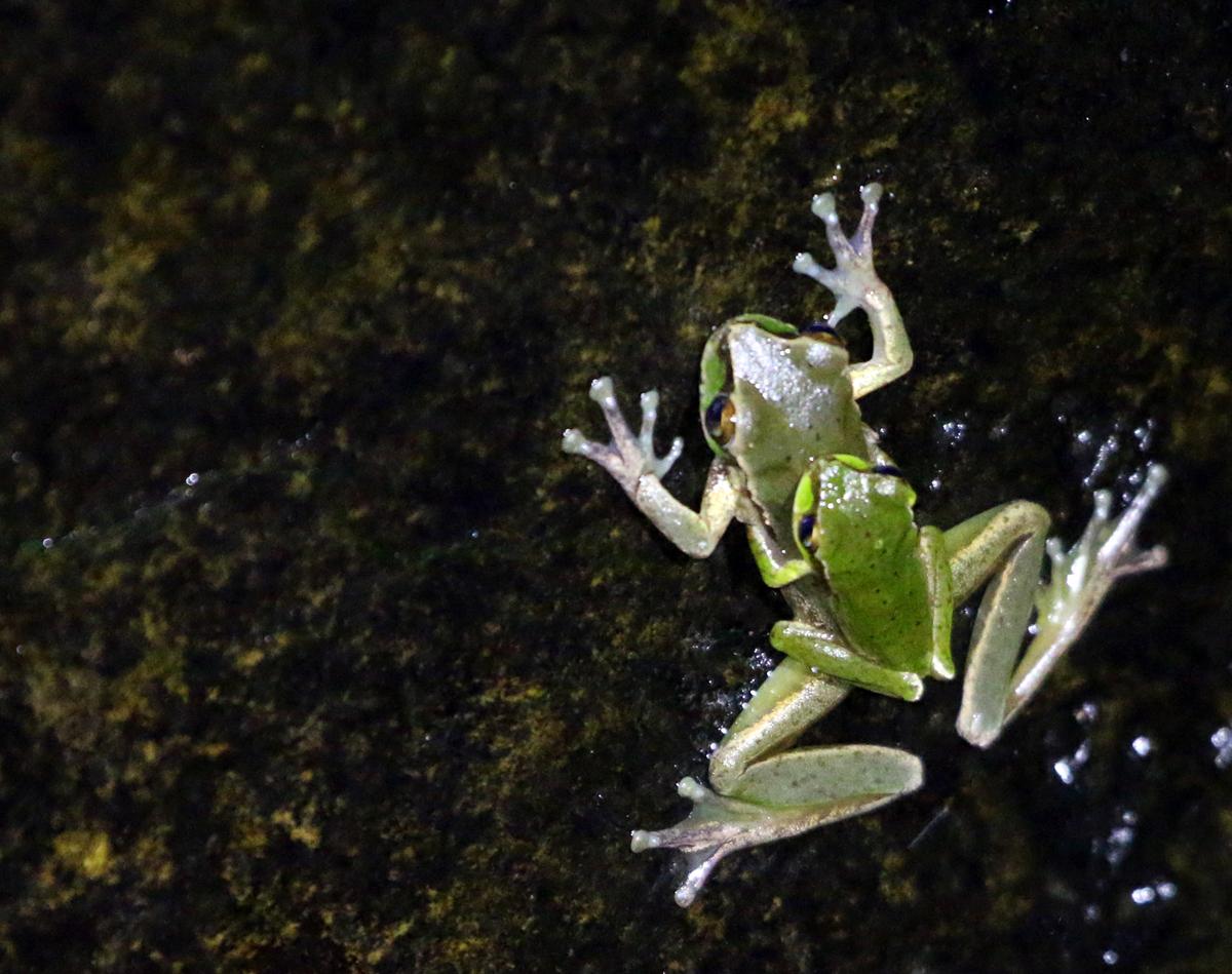 Pearson's tree frogs in amplexus