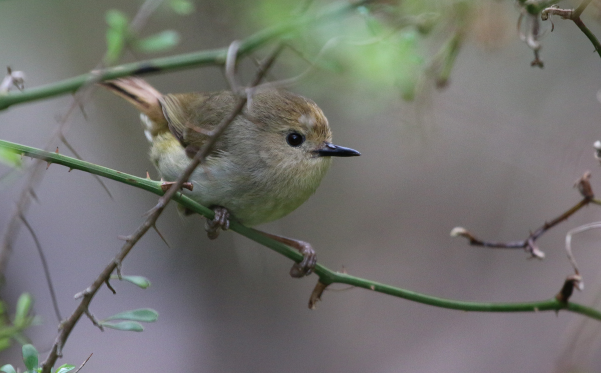 Little yellow thornbill