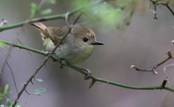 Little yellow thornbill