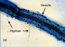 Mycorrhiza.png