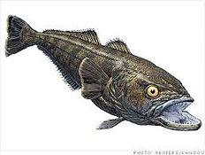 Chilenean sea bass 5.jpg
