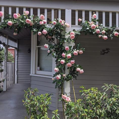 Climbing Rose Training