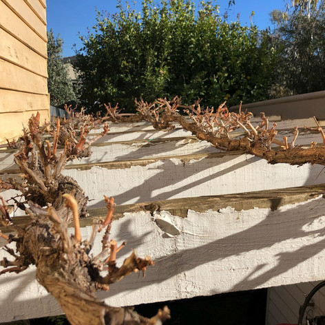 Grape Vine Pruning