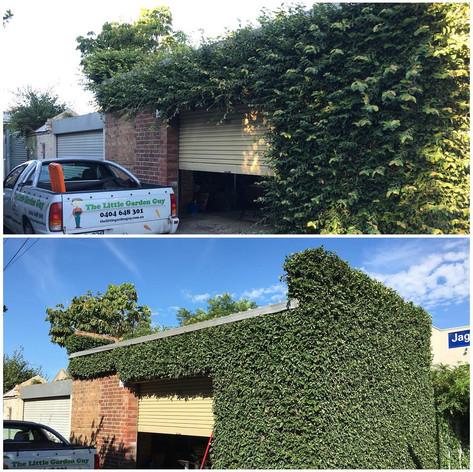 Ficus Hedging