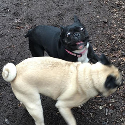 And Findlay meets a pug.