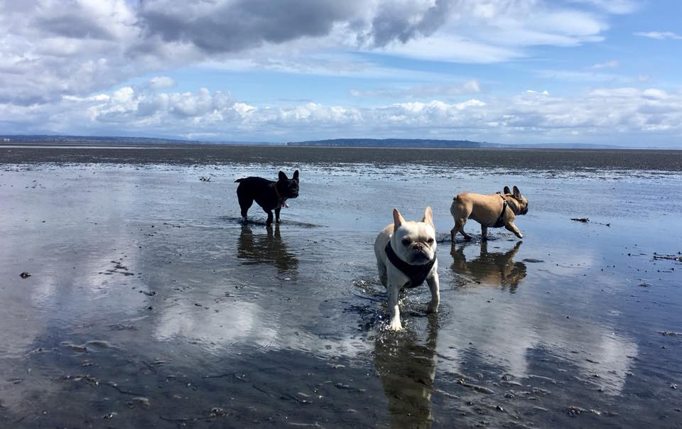 Frenchies at the beach