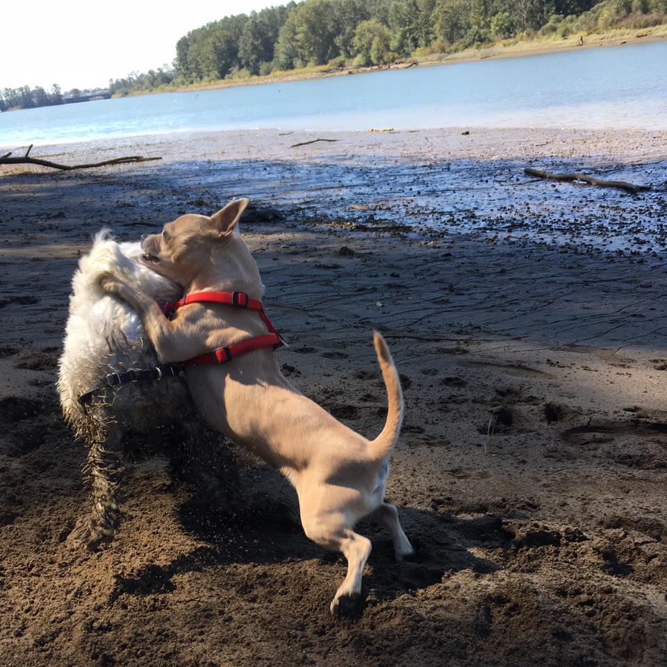Ginger and Sugar playing at the beach