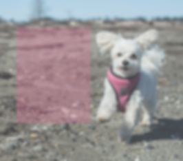 Marley the Morkie saunters on the beach with Wee Paws South Delta Small Breed Dog Walking