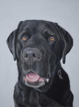 Pastel pet portrait of a black labrador