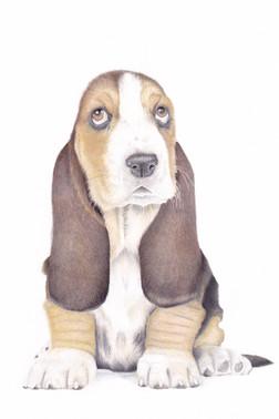 Basset Hound Puppy Dog Custom Coloured Pencil Pet Portrait Derbyshire