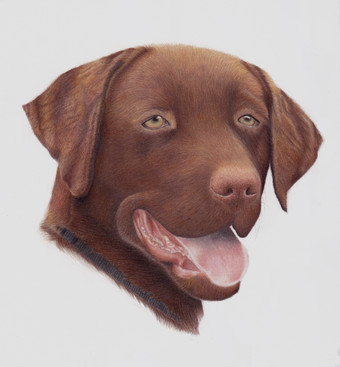 Chocolate Labrador Dog Gundog realistic portrait in Coloured pencil created from a photograph.