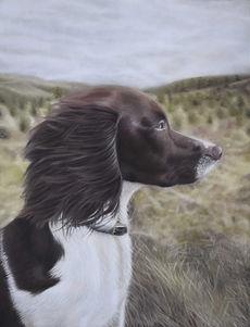 Gundog spaniel portrait a pastel portrait of a springer spaniel