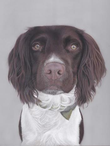 Springer Spaniel Pastel Portrait