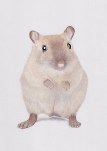 Siamese Gerbil Pastel Pencil Portrait in a realistic style on pastel mat paper