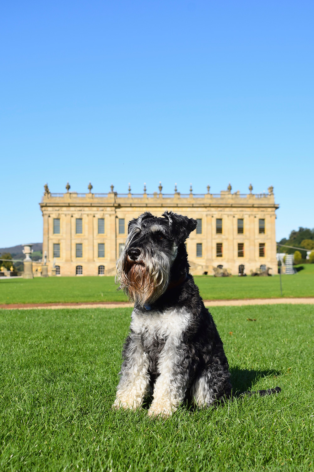 Monty the Miniature Schnauzer in front of the front facade of Chatsworth house in Derbyshire