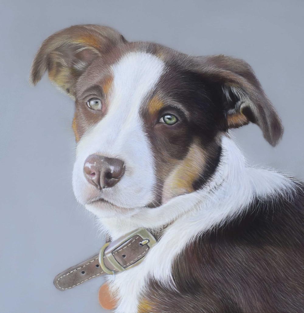 dog portraits - border collie puppy
