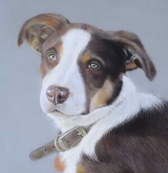 Border Collie Portrait in pastels dog portrait
