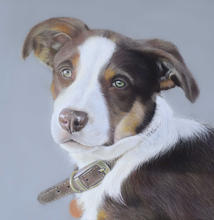 Border Collie Portrait in pastels