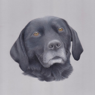 Black Labrador Dog Gundog Coloured pencil Custom pet portrait on pastelmat, realistic artist derbyshire