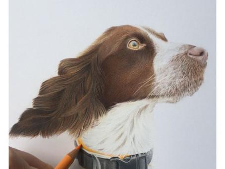 Gundog Portraits UK- Springer Spaniel Portrait