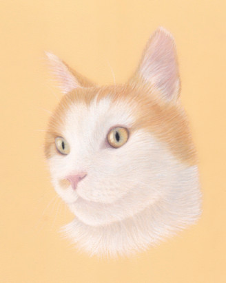 A Ginger and White Cat portrait drawing in pastel pencil in a realistic style. By Amy Elizabeth Fine Art a pet portrait artist in Derbyshire