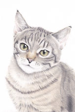 Tabby Cat Pet portrait in Coloured Penci
